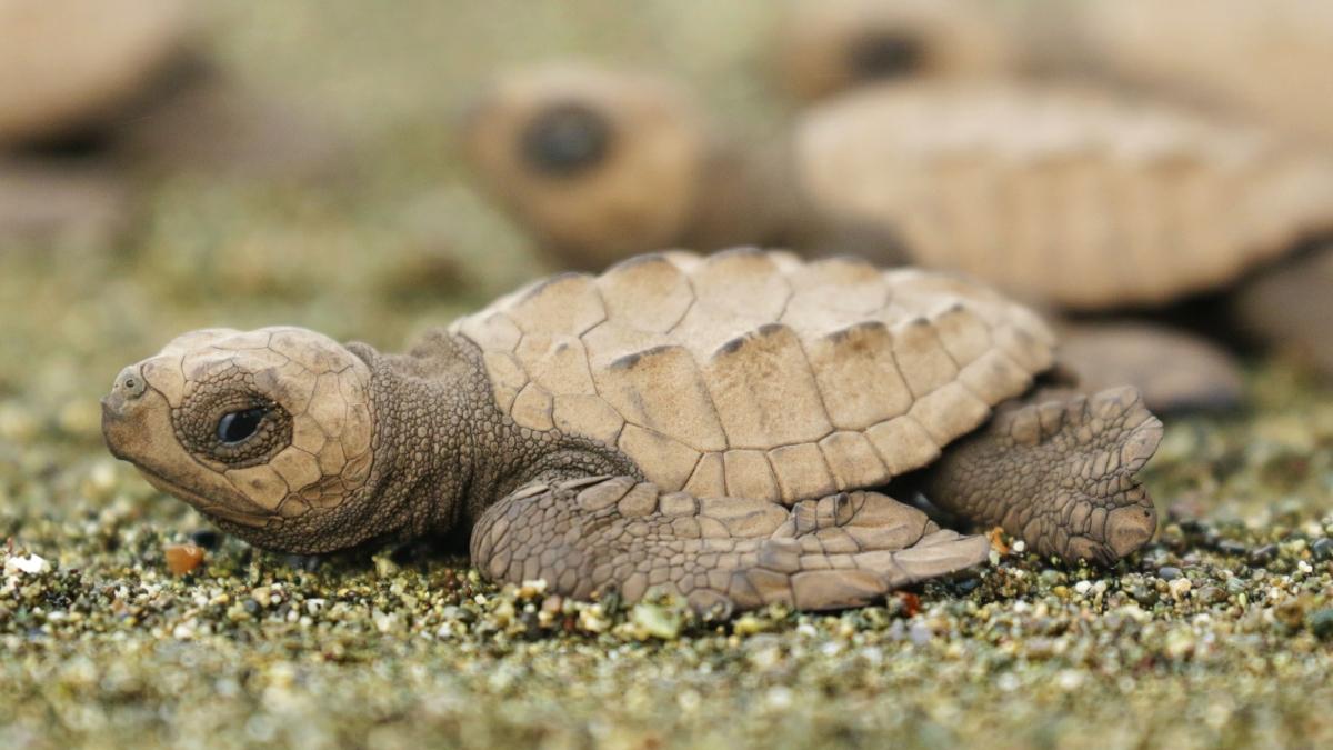 sea-turtle-protection-preciosa