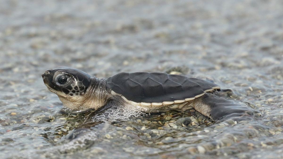 sea-turtle-tortugas-preciosas