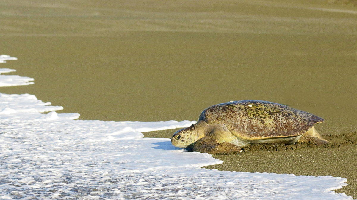 tortues-marines-osa-costa-rica