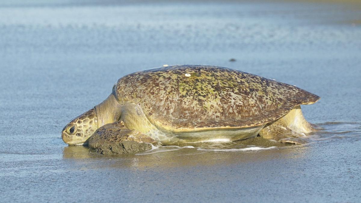 tortues-marines-playa-preciosa