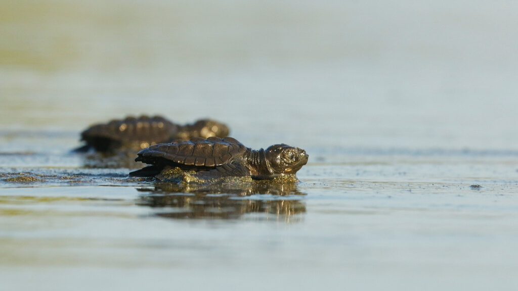 tortugas-costa-rica