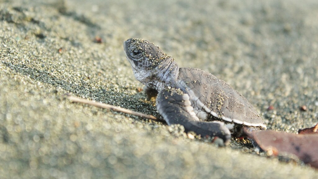tortugas-preciosas-osa