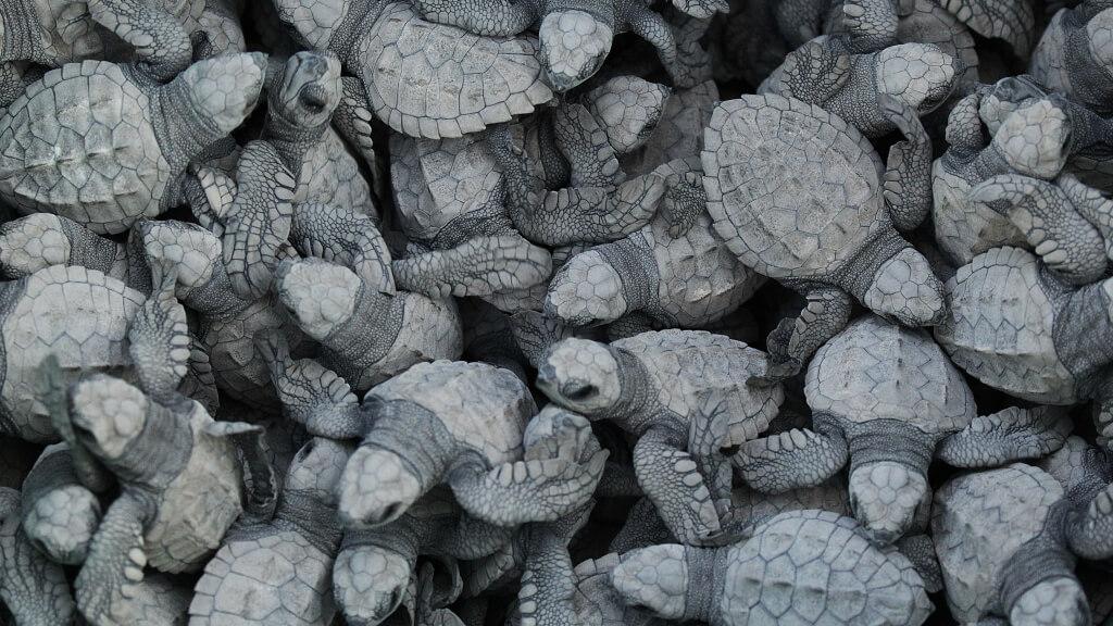 turtles-adopt-nest
