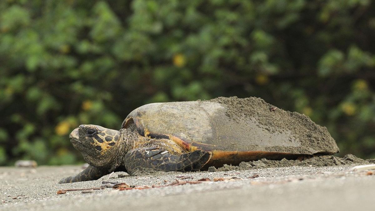 sea-turtle-playa-preciosa-2