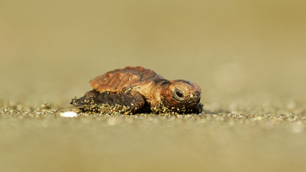 sea-turtle-playa-preciosa