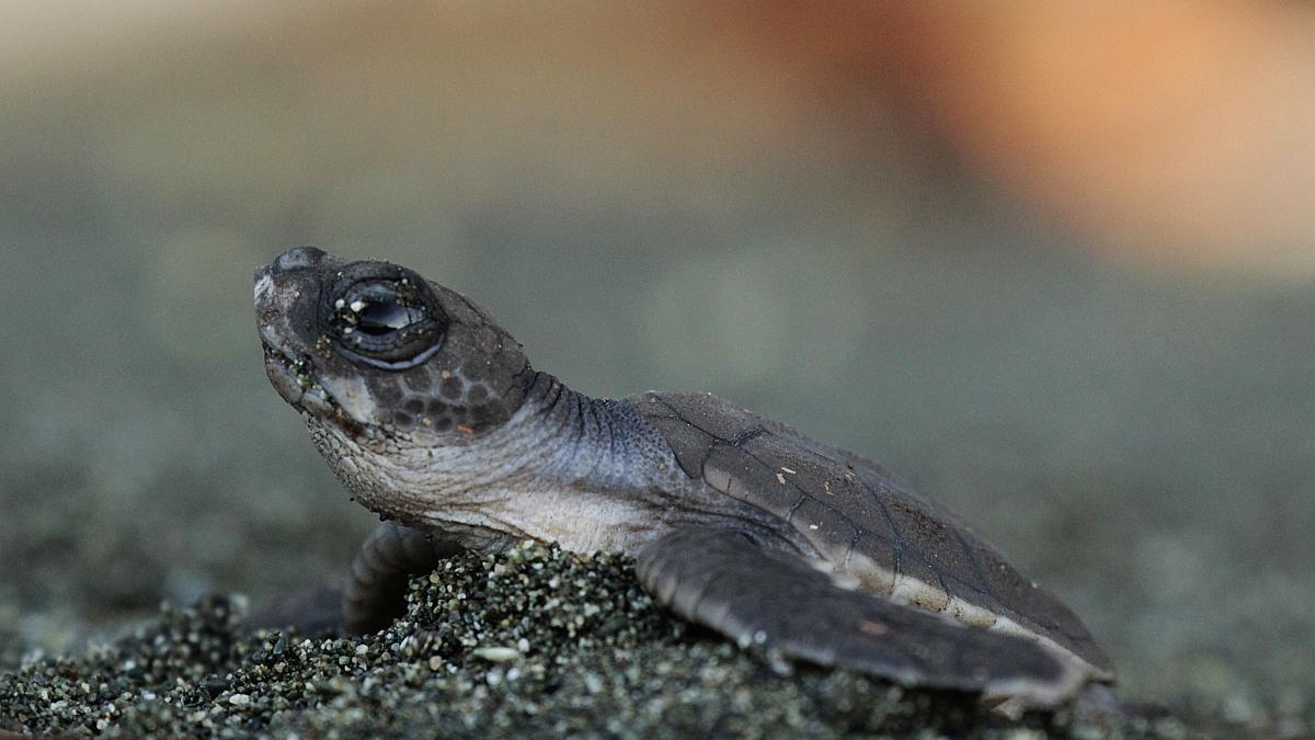 tortues-costa-rica