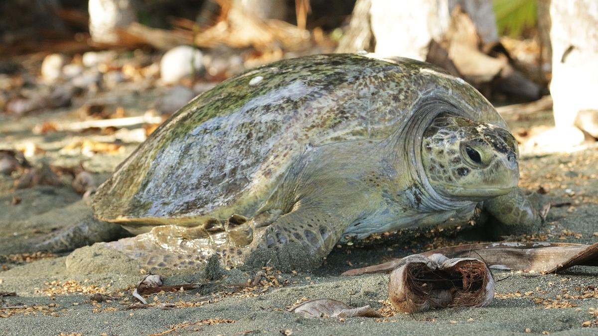tortues-marines-costa-rica