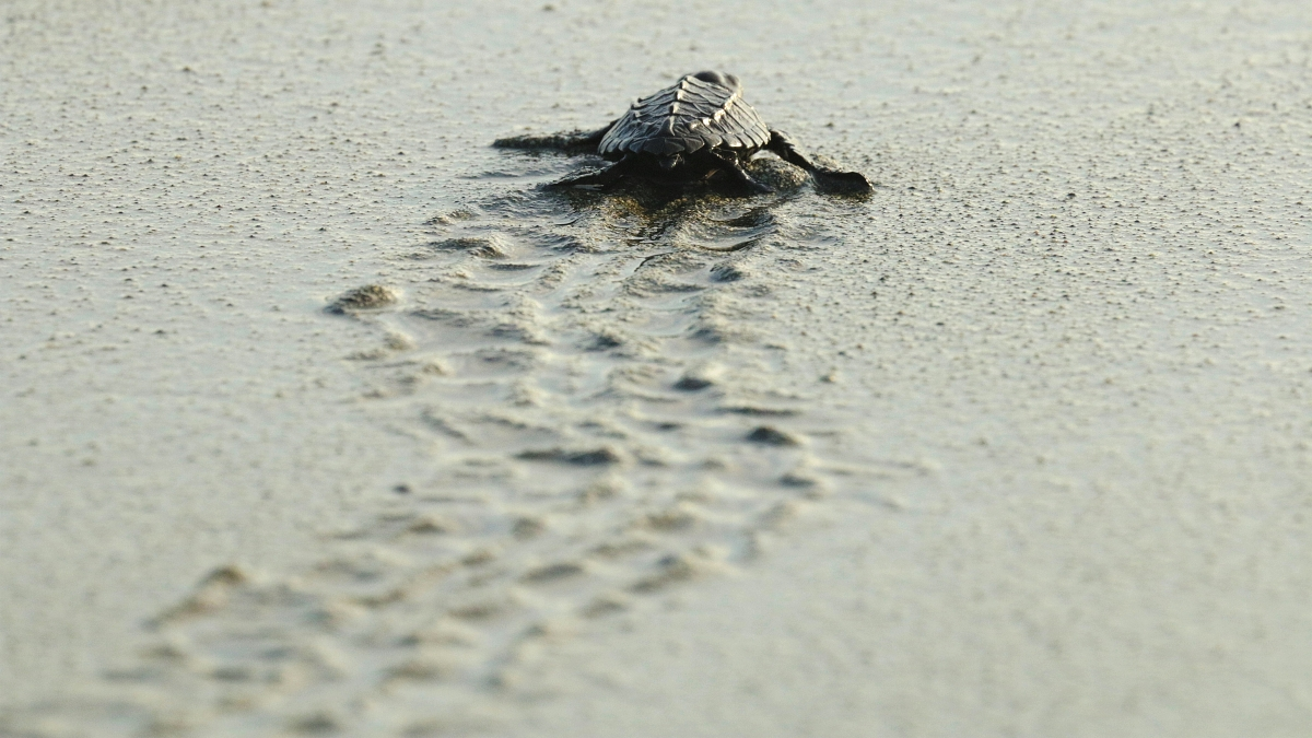 tortugas-marinas-playa-preciosa-costa-rica