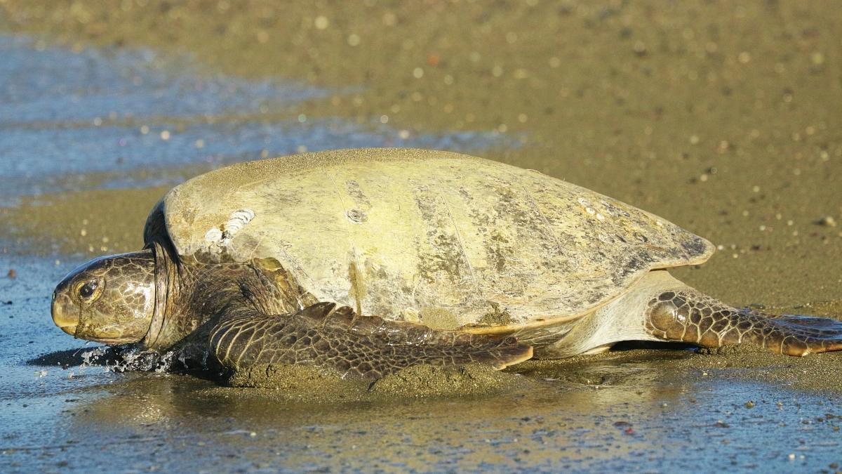 tortugas-preciosas-costa-rica