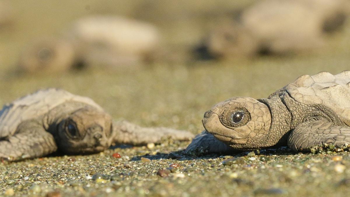 tortugas-preciosas-tortuguitas
